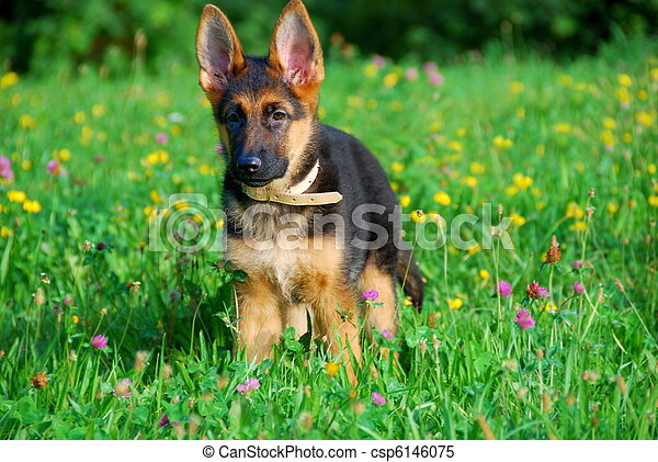 Dog wandering in the meadow - csp6146075