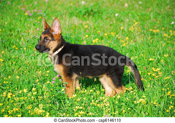 Dog wandering in the meadow - csp6146110