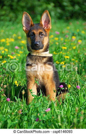 Dog wandering in the meadow - csp6146093