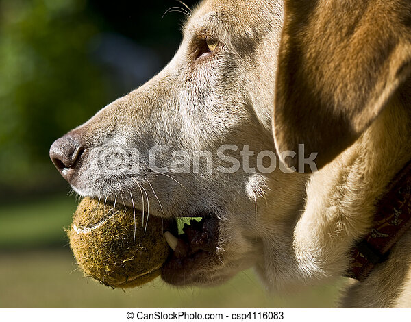 Dog Wants To Play Ball - csp4116083