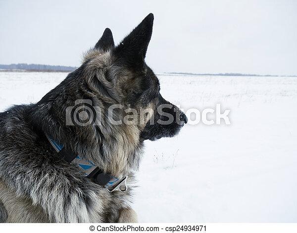 Dog Watching - csp24934971