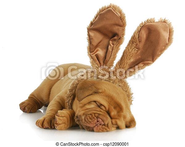 dog wearing bunny ears - csp12090001