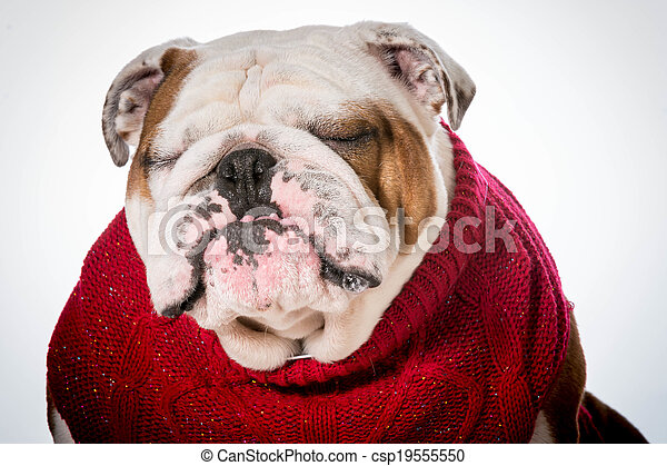 dog wearing sweater - csp19555550