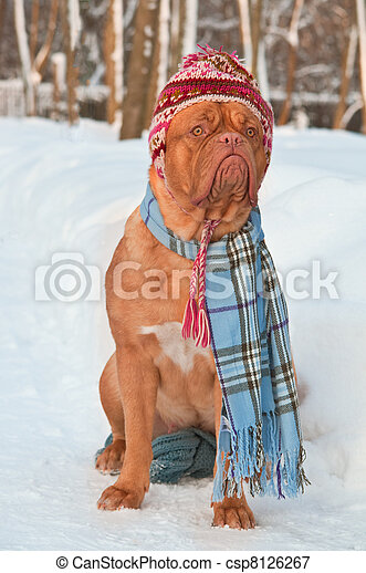 Dog wearing winter clothing - csp8126267