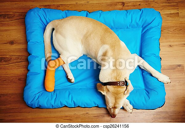 Dog with broken leg - csp26241156