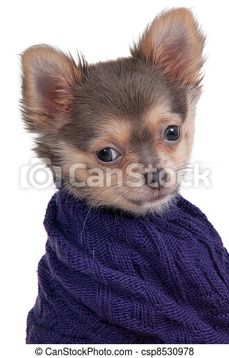 Dog with sweater - csp8530978