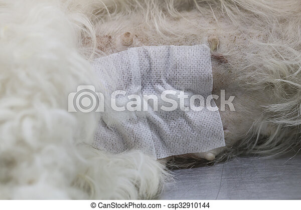 Dog wound after operation - csp32910144