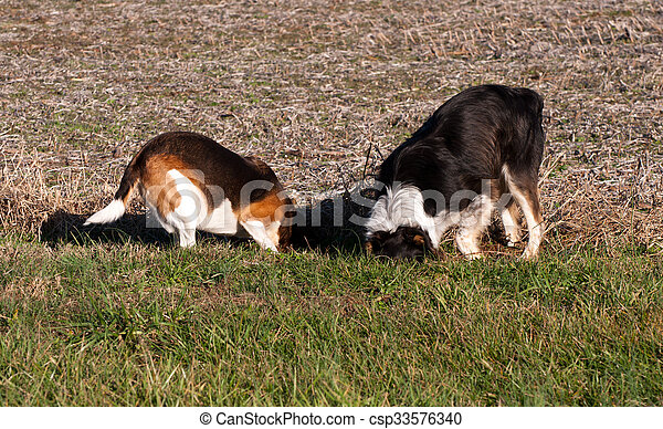 Dogs digging - csp33576340