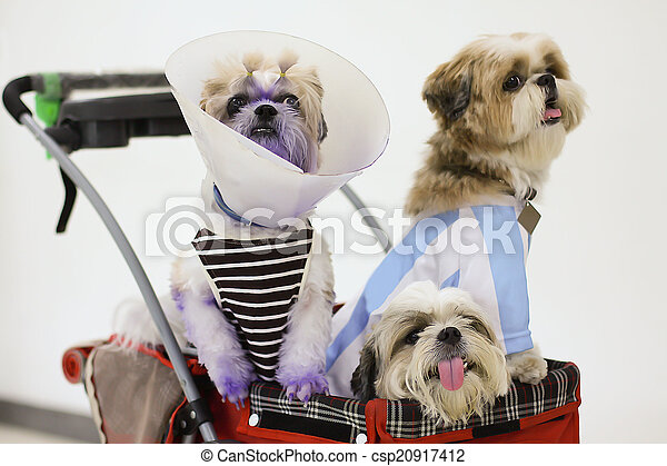 Dogs Dressed up in Pet stroller  - csp20917412