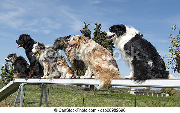 dogs in agility - csp26982696