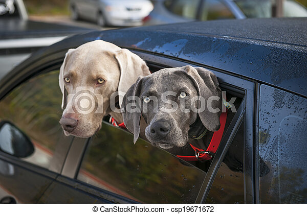 Dogs in car - csp19671672