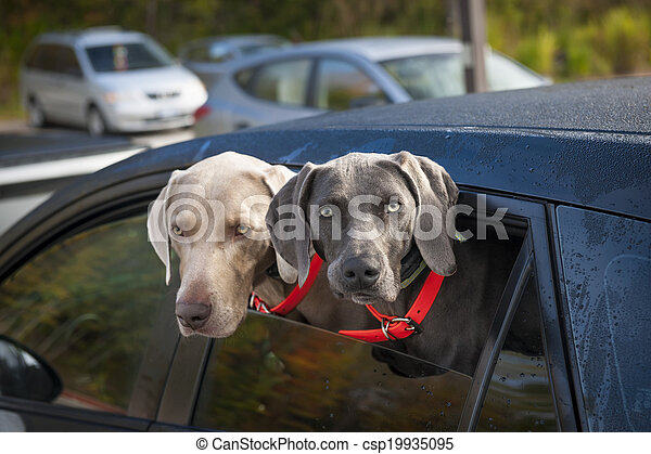 Dogs in car - csp19935095