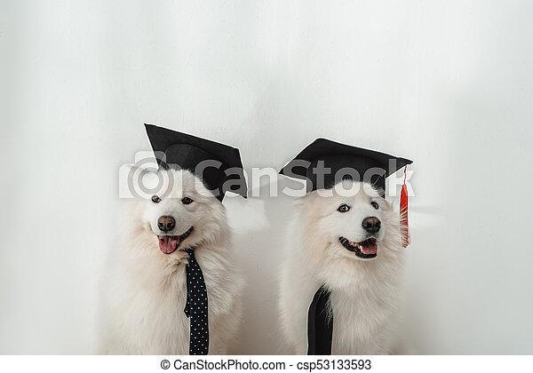 Wonderful Graduation Cap Black Adorable Dog - dogs-in-graduation-hats-stock-photograph_csp53133593  Pic_2510046  .jpg