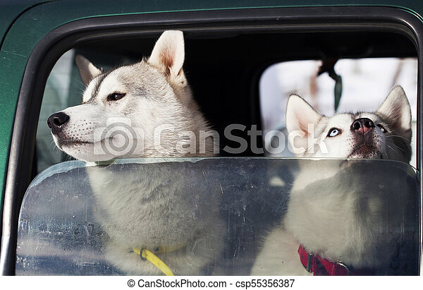 Dogs in the car - csp55356387