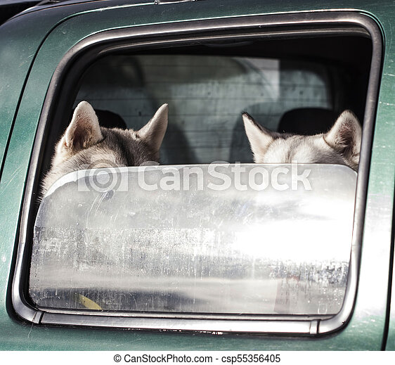 Dogs in the car - csp55356405