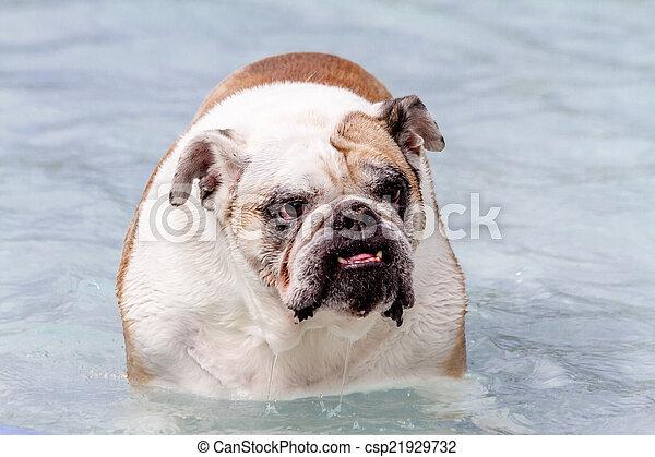 dogs swimming in public pool english bulldog in water at local