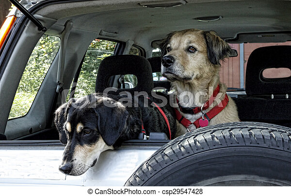 Dogs Traveling in Car - csp29547428