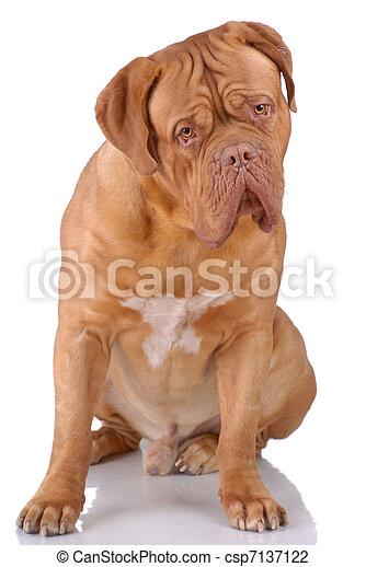 Dogue de Bordeaux - csp7137122