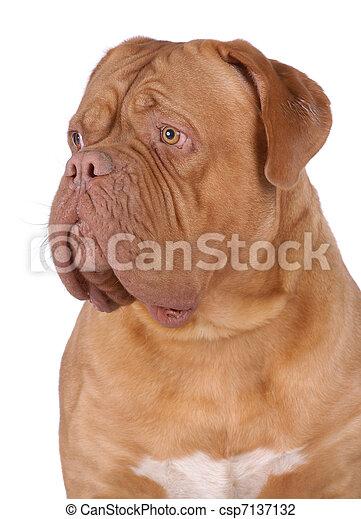 Dogue de Bordeaux - csp7137132