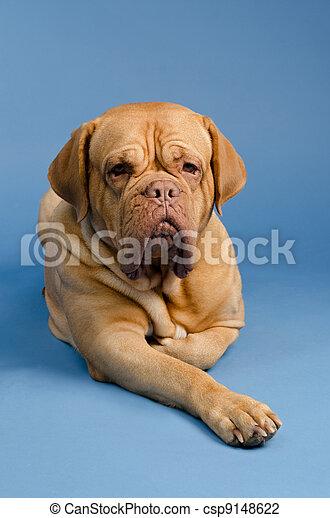 Dogue De Bordeaux - csp9148622