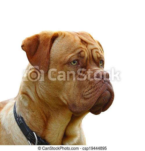 dogue de bordeaux - csp19444895