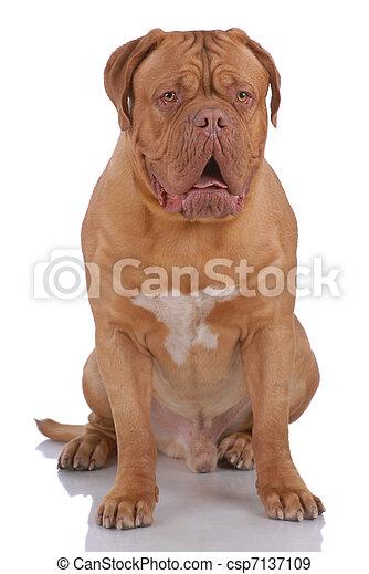 Dogue de Bordeaux - csp7137109