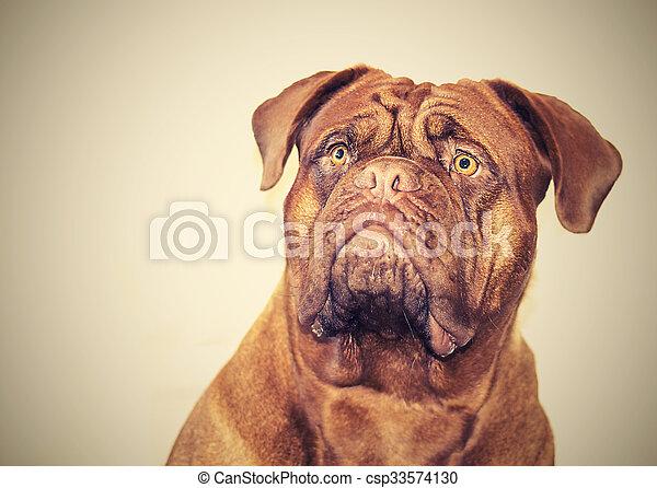 Dogue de Bordeaux - csp33574130