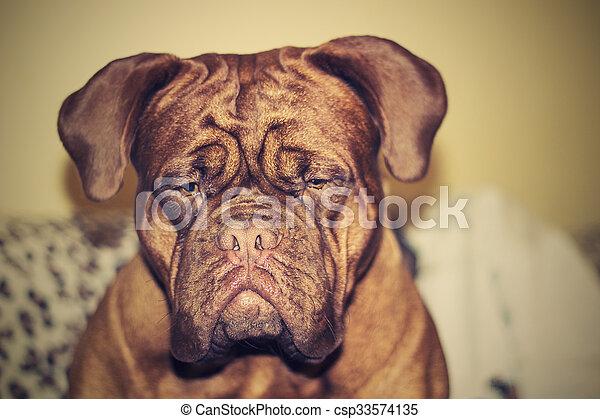 Dogue de Bordeaux - csp33574135