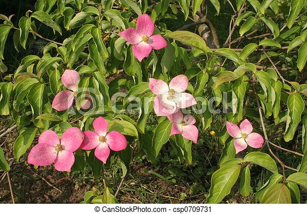 Dogwood Cornus Kousa Dogwood Tree Leaves And Flowers Cornus