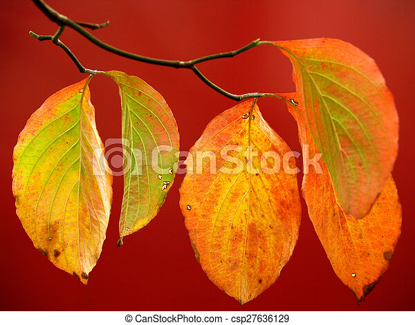 Dogwood Leaves on Red in Autumn - csp27636129