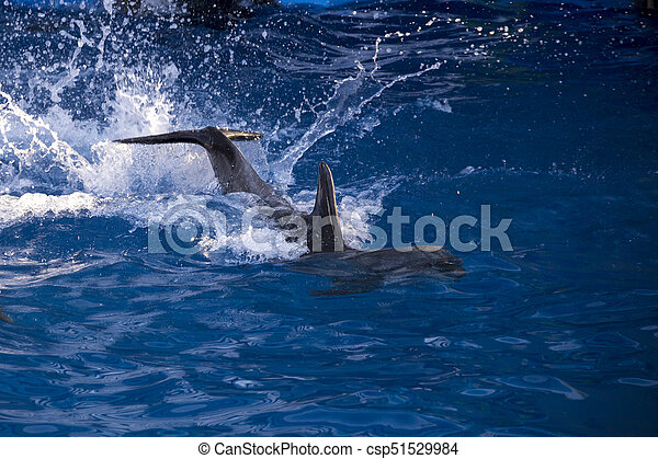 Dolphins in the ocean. Dolphins with a scratched back. Hunting for dolphins. Animal protection. - csp51529984