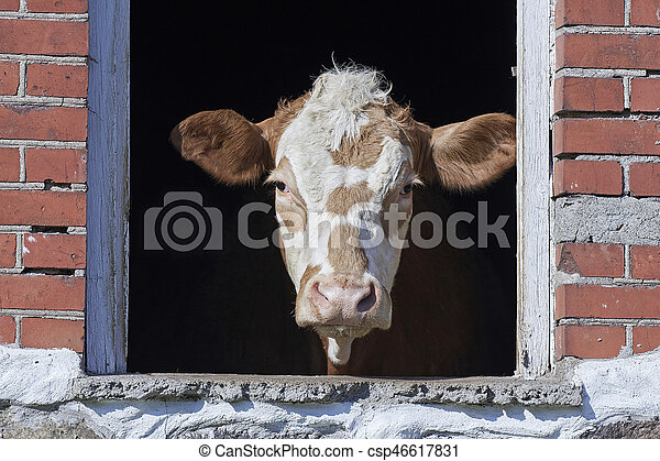 Domestic cow looking out a window - csp46617831