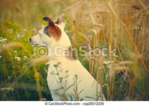 Domestic dog in a field - csp26012236