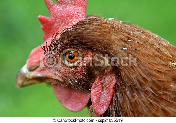 Domestic farm chicken  - csp21035519