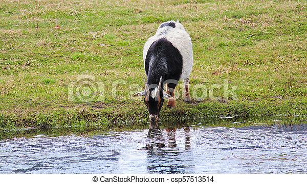 domestic goat standing and drink water from pond