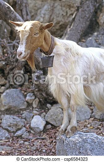 Domestic goat - csp6584323