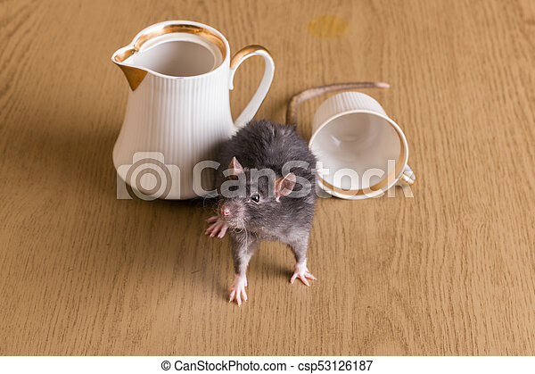 domestic rat on the table - csp53126187