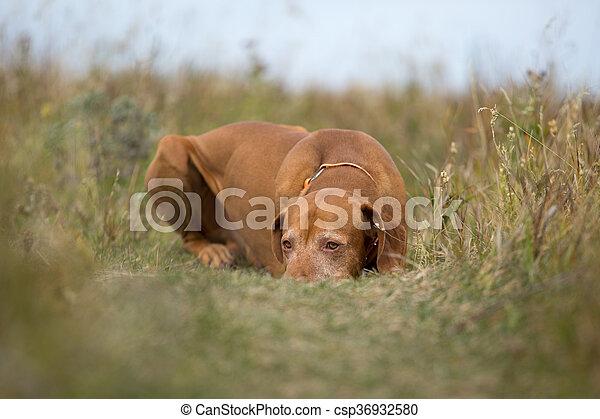 Perro de caza de colores dorados en la hierba - csp36932580
