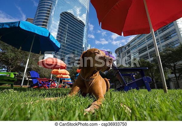 Perro vizsla dorado tirado en la hierba en el centro de Houston - csp36933750