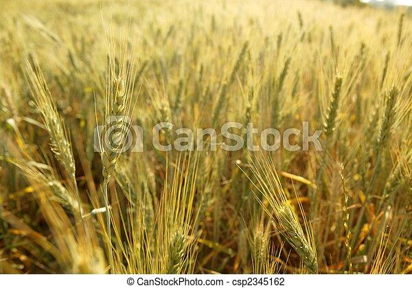 Cereales dorados de trigo amarillo - csp2345162