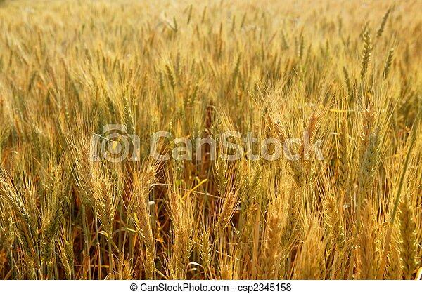 Cereales dorados de trigo amarillo - csp2345158