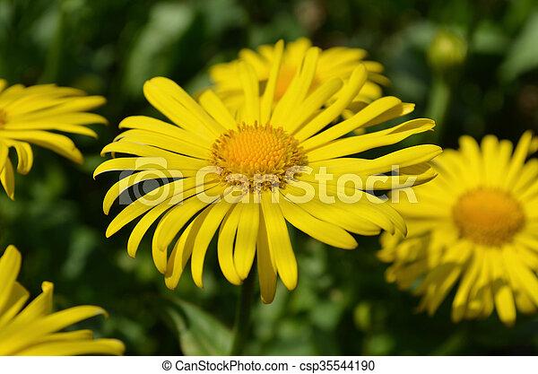 Doronicum yellow flower - csp35544190