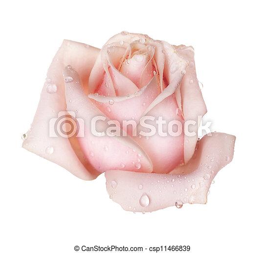 doskonały, róża, biały, odizolowany - csp11466839