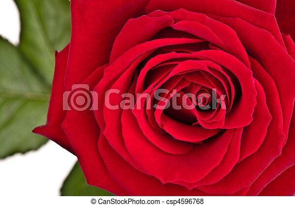 doskonały, róża, odizolowany, liście, dokumentnie, zielone tło, biały czerwony - csp4596768