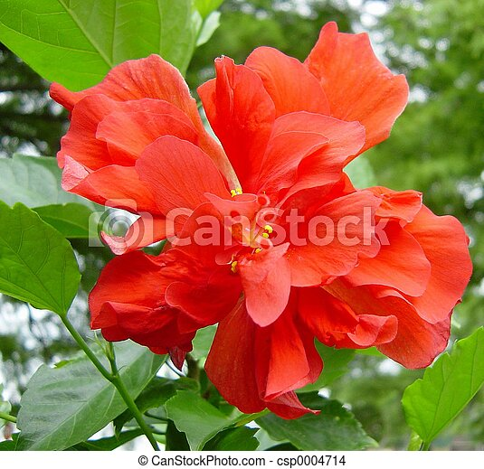 Double Hibiscus A Tropical Flower Highly Thought Of For Its Full
