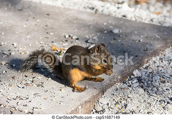 Douglas squirrels - csp51687149