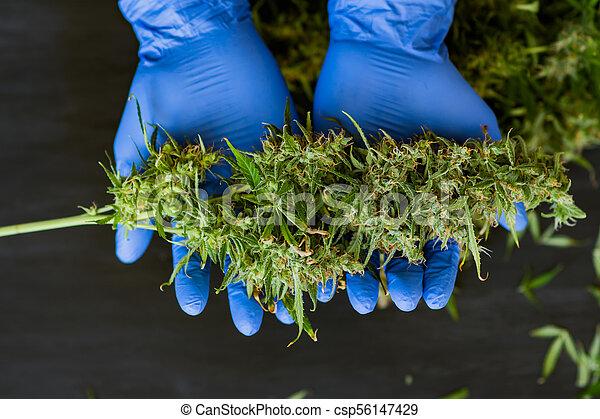 doutor, conceitos médicos, trabalhador, marijuana, cima, grande, cannabis, fresco, cultivar, mãos, fim, crescer, colheita, topo, broto, vista - csp56147429