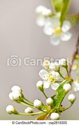 doux, fleurs blanches, printemps - csp2816305