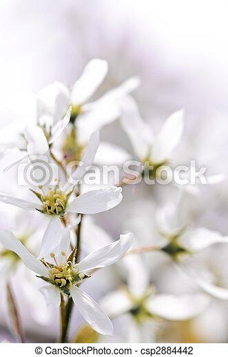 doux, fleurs blanches, printemps - csp2884442