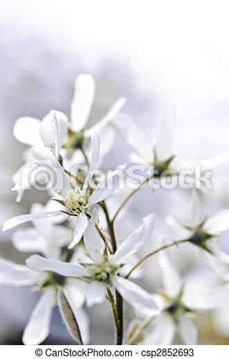 doux, fleurs blanches, printemps - csp2852693